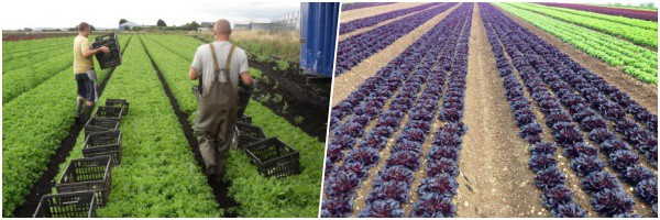 Bryans Salads are growers and packers of lettuce on the rural peatlands of the fertile West Lancashire plain